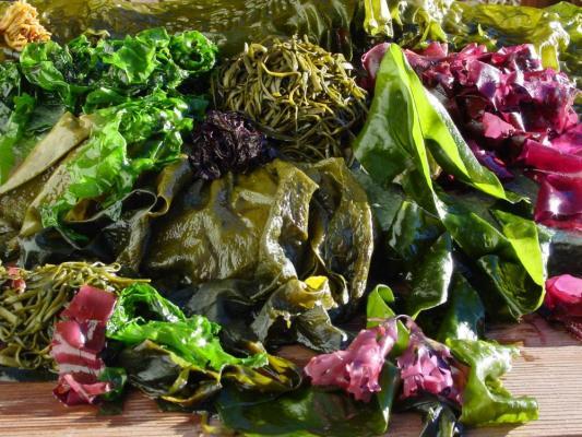 Les Algues … les légumes de la mer …